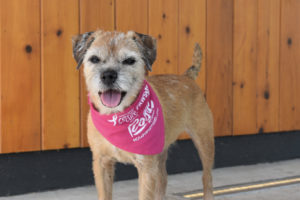 A small dog with a pink bandana to support breast cancer