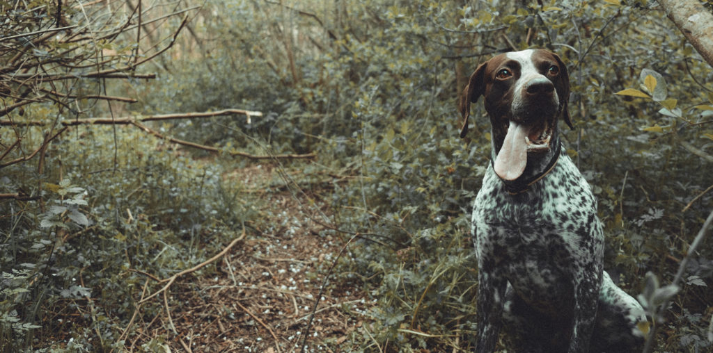 hunting dog in the woods