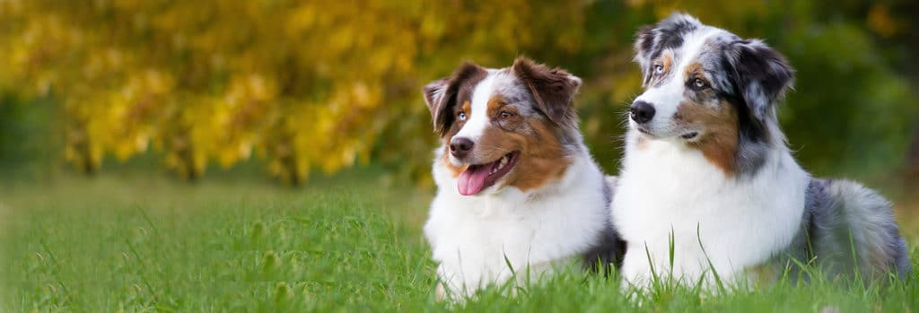Australian Shepherd Dogs in the Grass