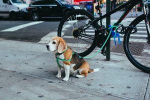 Beagle on leash to bike in city