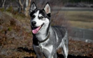 Dog Acne Siberian Husky