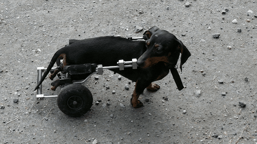 dog with rolling wheels